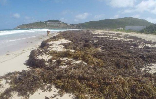 Nature Foundation Informs That Sargasso Seaweed Has Invaded