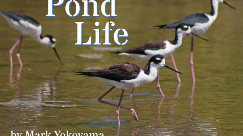 Free Pond Life Ebook Released for 2016 Migratory Bird Festival