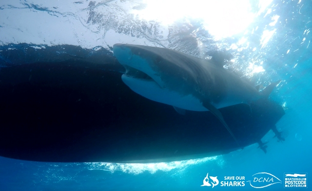 tagging_Duncan-Brake-Sharks4Kids.jpg