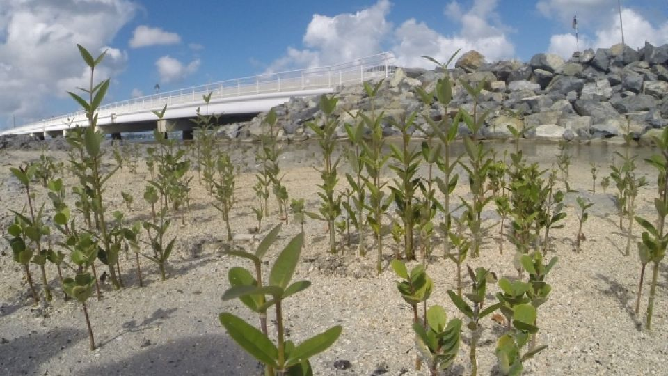 Mangrove-restoration-NFSXM-Causeway-2.jpg