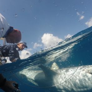 Sint Maarten Nature Foundation Relaunches Save our Sharks Shark Conservation Project