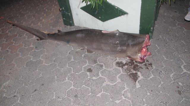 Shark_Poaching.JPG