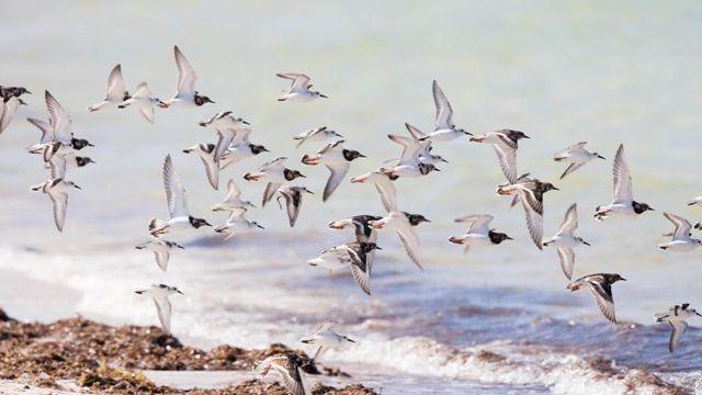 Shorebirds-IMBD.jpg