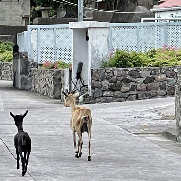 Goat removal starts Monday