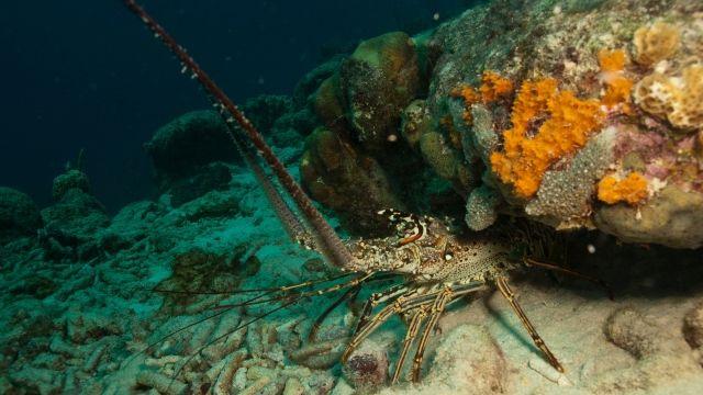spiny-lobster_sm.jpg
