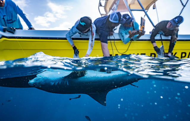 Expedition on the Saba Bank to Enhance Tiger Shark Protection
